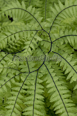 usa california five finger fern western