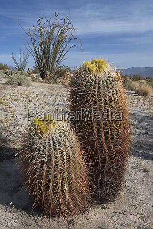 usa california california barrel cactus ferocactus