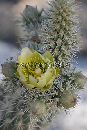 usa california detail of silver cholla