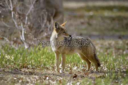 usa california death valley lone coyote