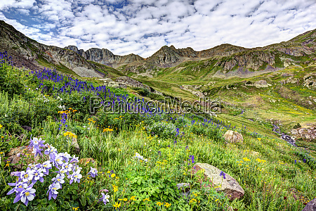 usa colorado wildflowers in american basin