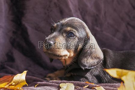 doxen puppy mr