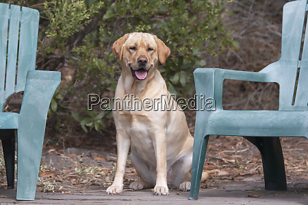 yellow labrador retriever waiting