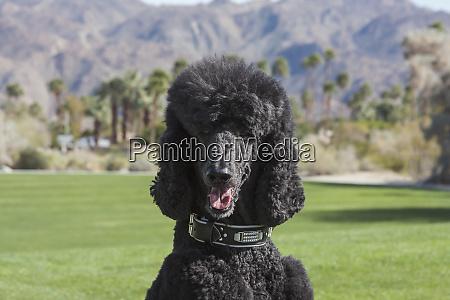 black standard poodle at a desert