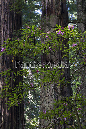 usa, , california., costal, redwood, (sequoia, sempervirens) - 27338840