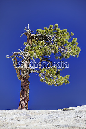 usa, , california, , yosemite, national, park., gnarled - 27338555