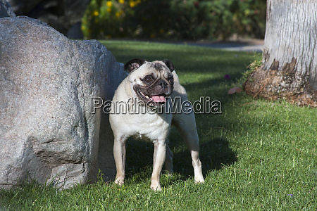 pug standing near rock mr