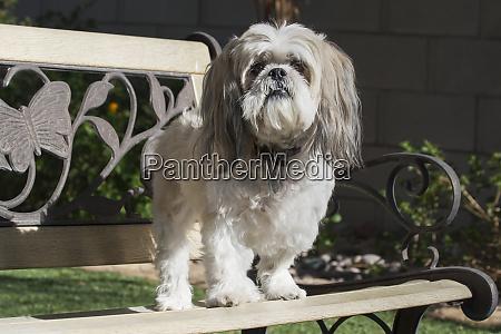 shih tzu standing on park bench