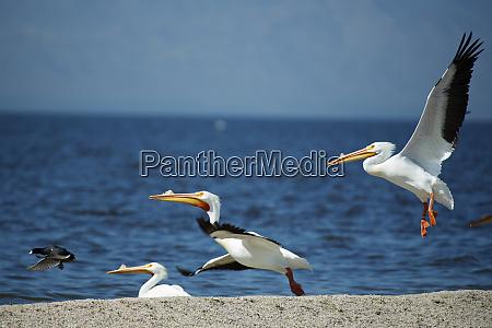 white pelicans pelecanus erythrorhynchos on the