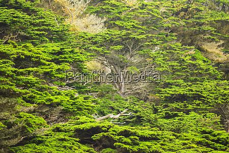 cypress trees 17 mile drive carmel