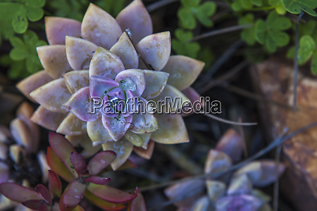 usa california la mesa echeveria perle