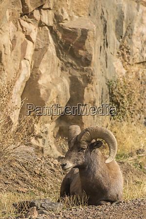 usa colorado waterton canyon bighorn sheep