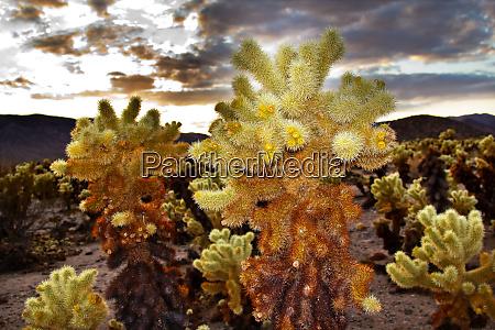 cholla cactus garden sunset mojave desert