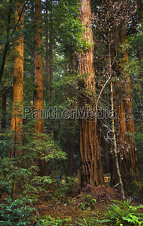 giant redwood trees tower over hikers