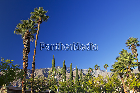 fan palms trees palm springs california