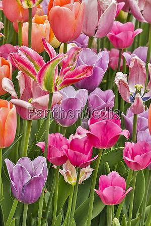 usa delaware hockessin tulips