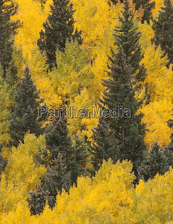 usa colorado san juan mountains spruce