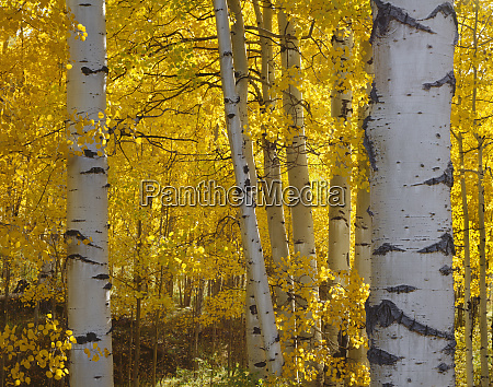 usa colorado uncompahgre national forest fall