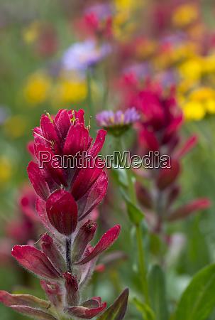 usa colorado jones pass alpine wildflowers