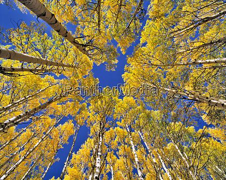 usa colorado aspen area aspen forest