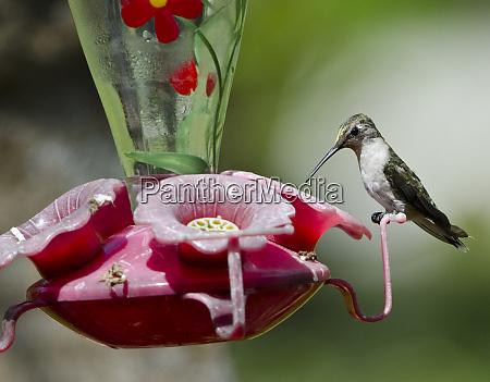 usa florida immokalee ruby throated hummingbird