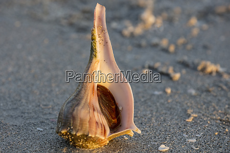conch along the shore at sanibel