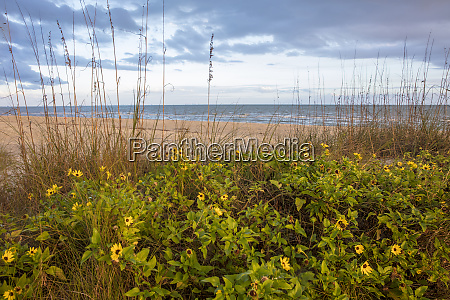 dune sunflowers and sea oats along