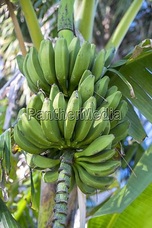 usa florida new smyrna beach banana