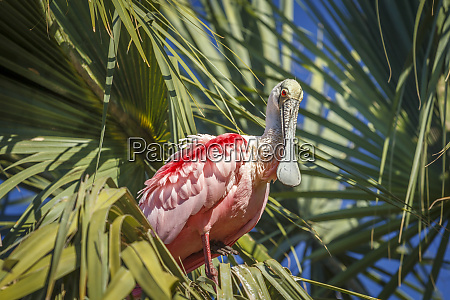 usa florida a roseate spoonbill stands