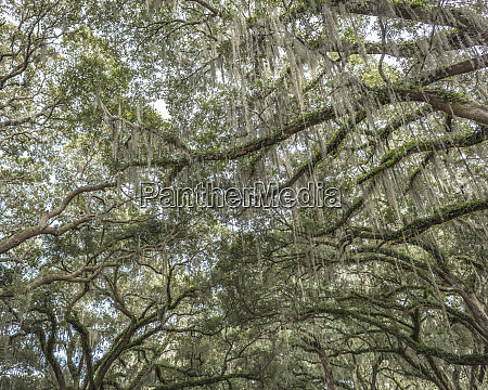 beautiful southern live oak canopy quercus