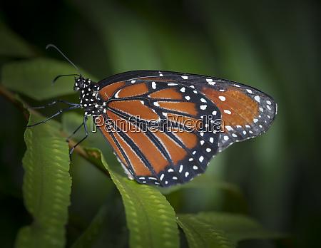 queen butterfly danaus gilippus florida