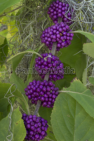 usa florida purple beautyberry callicarpa dichotoma