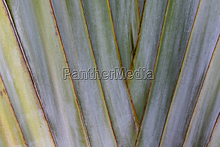 traveler palm close up