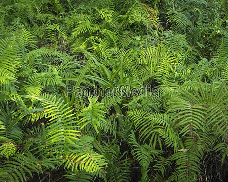 ferns of corkscrew swamp sanctuary florida