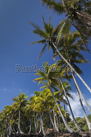 palms along the puna coast big