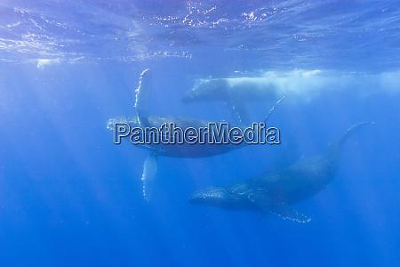 sub adult humpback whales megaptera novaeangliae