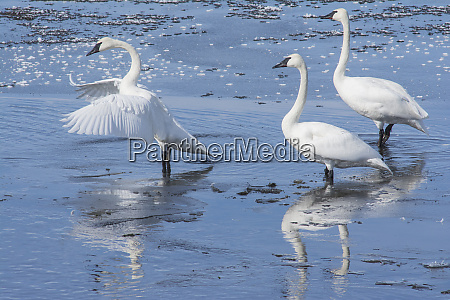 trumpeter swans on the harriman ranch