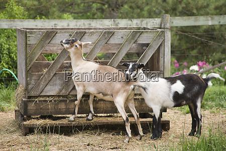 galena illinois usa two alpine goats