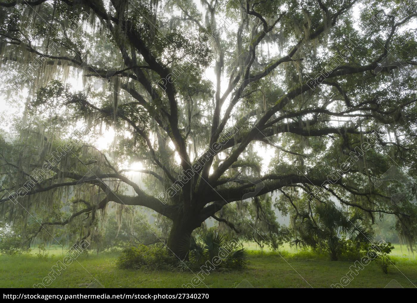 beautiful, southern, live, oak, tree, , quercus - 27340270
