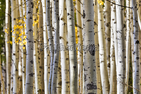usa, , colorado, , crested, butte., aspen, trunks - 27340126
