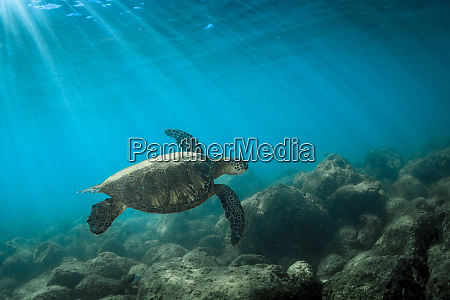 green sea turtle swimming off the