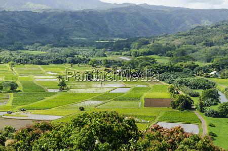 taro fields in hanalei national wildlife