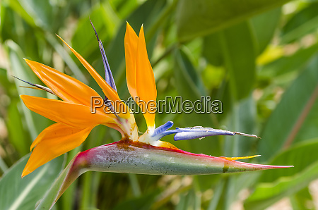 bird of paradise strelitzia reginae in