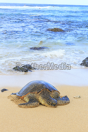 green sea turtle chelonia mydas pulled