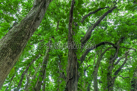 banyan trees near rainbow falls 80