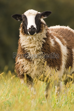galena illinois usa dorset sheep in