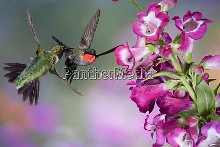 ruby throated hummingbirds archilochus colubris males