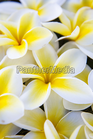 usa hawaii maui plumeria in mass