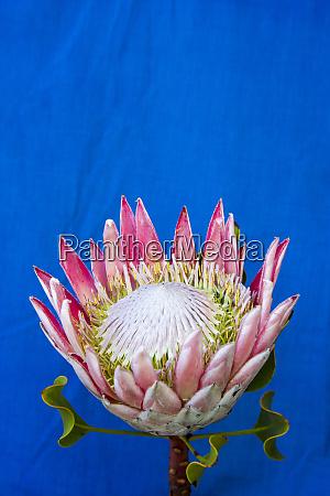 usa hawaii maui proteas plant in