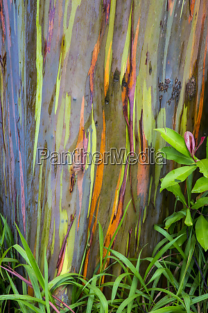 usa hawaii maui rainbow eucalyptus trees